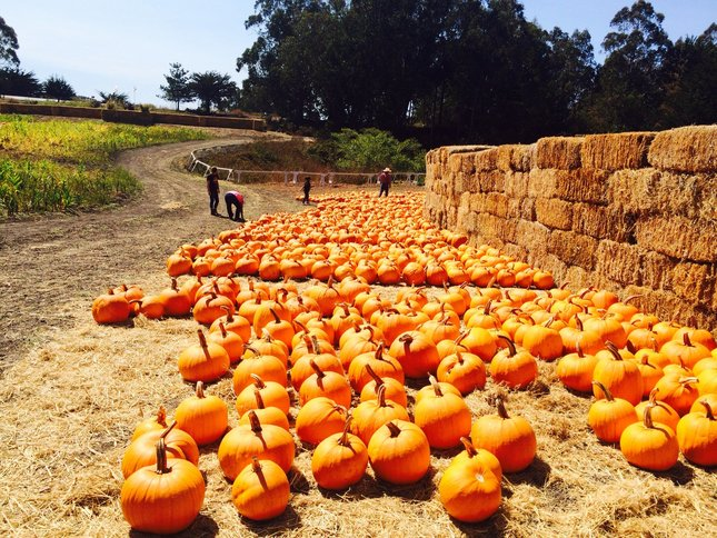 A great pumpkin getaway in Half Moon Bay includes Arata pumpkin patch